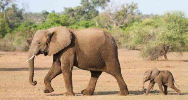Ocho personas, detenidas por envenenar elefantes en Zimbabue