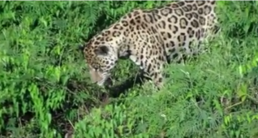 Jaguar cazando un caimán