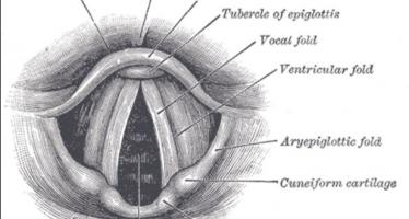 Abren camino hacia trasplante de cuerdas vocales cultivadas