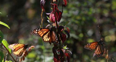 Mariposas monarca sacan provecho de la sequía en California