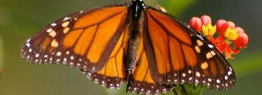 Crean en Ecatepec santuario para reproducción de mariposa monarca