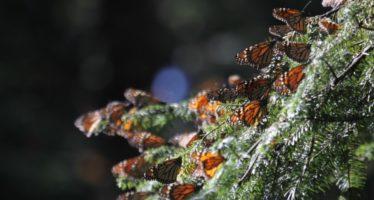 Detienen tala ilegal en Reserva de la Biósfera Mariposa Monarca