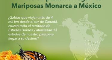 Comienzan a llegar las mariposas monarca a México