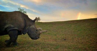 Muere Nola, la rinoceronte blanco del zoológico de EU; sólo quedan tres en el mundo