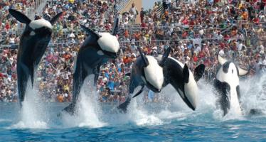 SeaWorld pone fin a sus espectáculos con orcas en San Diego tras denuncias sobre maltrato animal