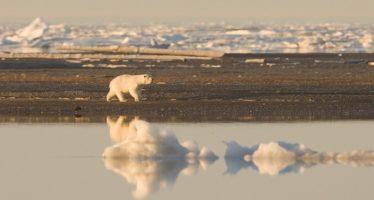 El 30% de la población de oso polar podría desaparecer por Cambio Climático
