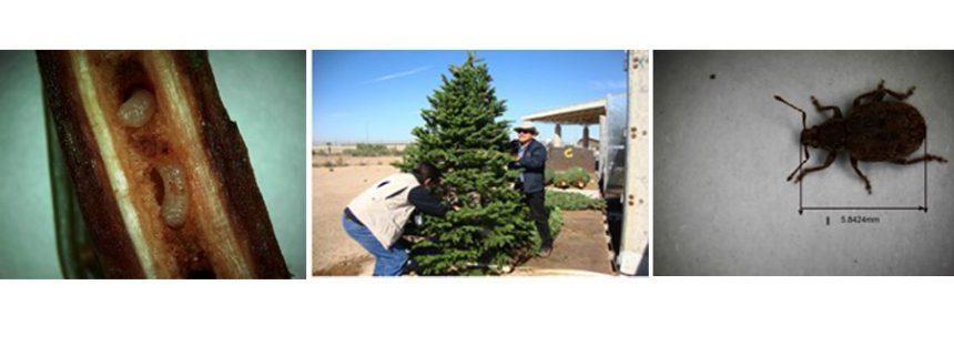 Interceptan 8,216 árboles de Navidad con plaga