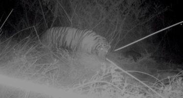 """Intensifican búsqueda del tigre """"Ankor"""""""