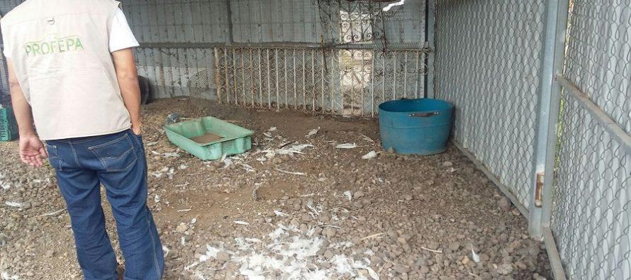 PROFEPA niega su participación en captura de tigres, en Michoacán