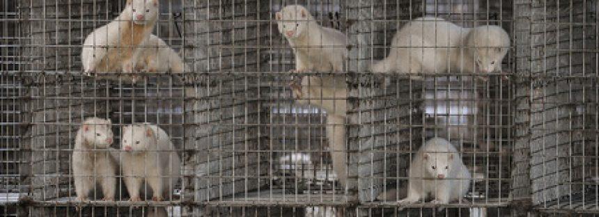Holanda prohibe granjas de visones