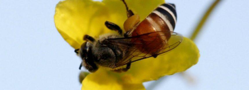 El olor de flores reduce la respuesta agresiva de las abejas ante amenazas
