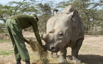 Fecundación 'in vitro' para salvar al rinoceronte blanco