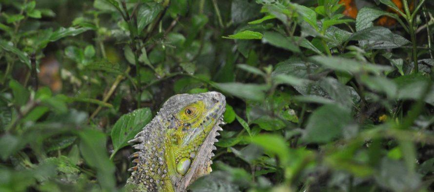 Liberan aves silvestres, dos mamíferos y dos iguanas en Los Tuxtlas, Veracruz