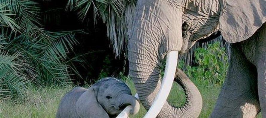 Elefante africano: la caza furtiva refuerza su estructura social