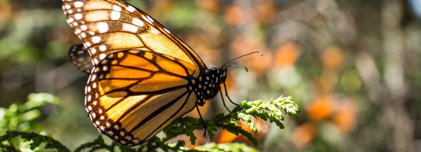 Científicos de México y EEUU suman esfuerzos por la mariposa monarca