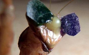 Una mantis con gafas demuestra que también ven en 3D