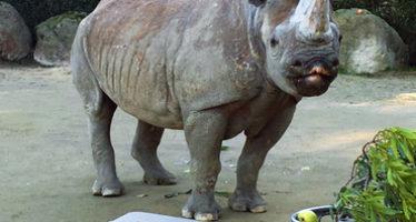 Rinoceronte negra cumple 45 años en San Francisco