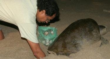 El calor afecta anidación de tortuga marina en costas de Jalisco