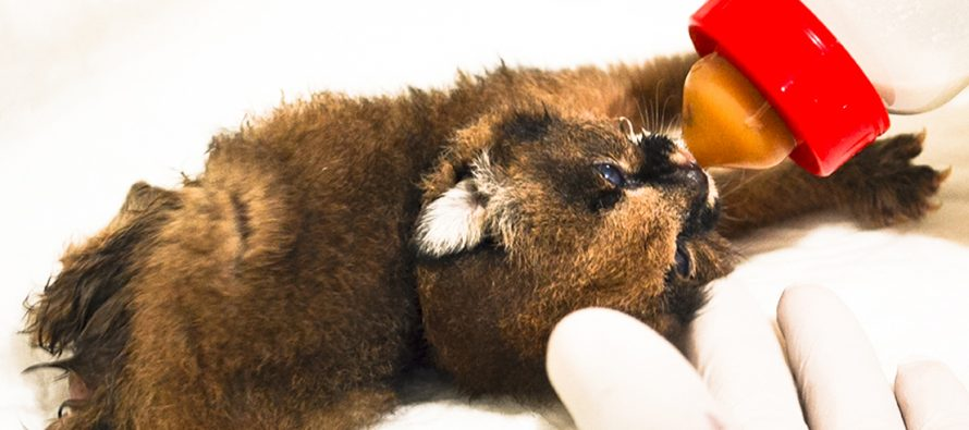 Nace primera cría de caracal (Caracal caracal) en el Zoológico de Morelia que puede ser la primera de  todo México