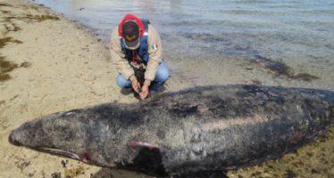 Siete ejemplares de ballena gris (Eschrictius robustus) halladas varadas y muertas en la laguna Ojo de Liebreq