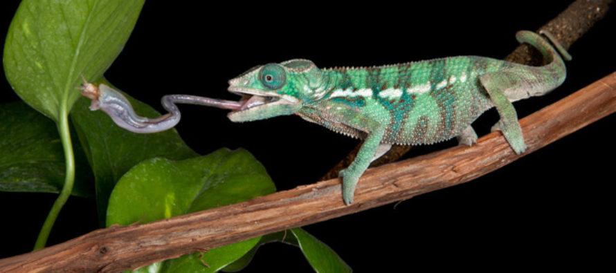 La increíble lengua del camaleón: de cero a cien en una centésima de segundo