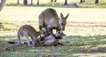Desgarradora imagen en la que se ve cómo un canguro muere en brazos de su compañero