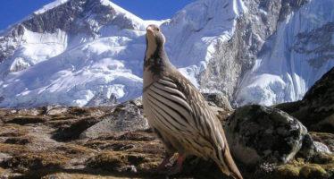 Conocidas aves del Himalaya resultan ser tres especies diferentes