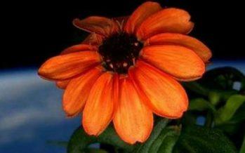 Zinnia, la primera flor cultivada en el espacio