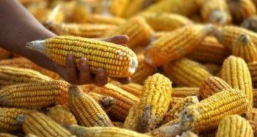 China: Greenpeace denuncia una gran presencia de maíz transgénico ilegal