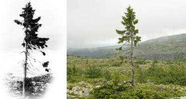 Encontraron al árbol vivo más longevo en el mundo y tiene más de 9.500 años