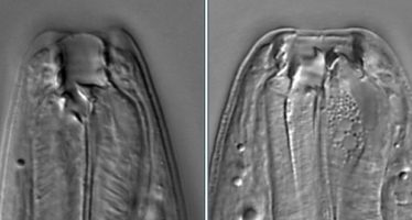 Descubren un gusano que puede tener cinco «caras» distintas