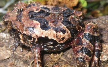 Científicos españoles y alemanes descubren dos nuevas especies de rana en Madagascar