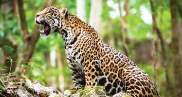 De los proyectos más grandes del mundo: la protección del jaguar