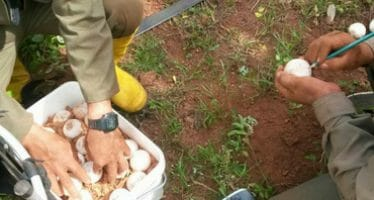 Galápagos comienza plan de crianza de nueva especie de tortugas
