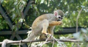 Muertes de monos aulladores en países latinoamericanos son investigadas