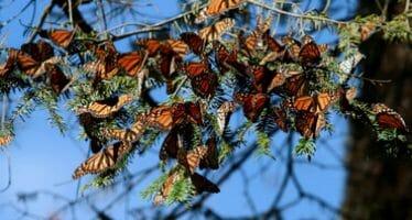 Migración de mariposa monarca a México se recuperó esta temporada