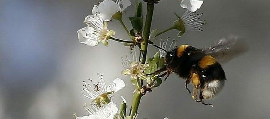 El futuro incierto de las abejas
