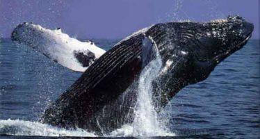 Festival de la ballena gris