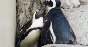 El Pingüino africano, al borde de desaparecer