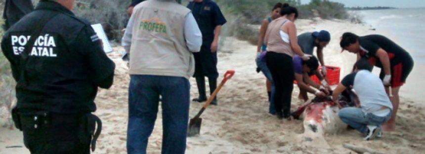Continúa el deceso masivo de mamíferos marinos en las playas de México