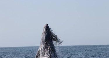 Normal la densidad de ejemplares de ballena gris en santuarios de la Reserva de la Biosfera El Vizcaíno en BCS