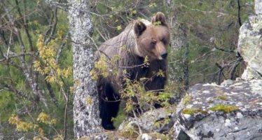 Los osos pardos no son agresivos