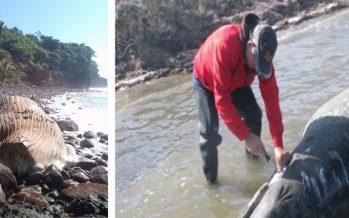 """Por """"causas naturales"""" dice la Profepa, encuentran varadas y muertas diez ballenas en Nayarit"""