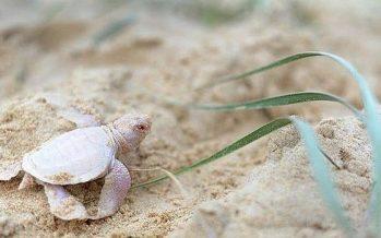 Una tortuga verde única en el mundo: «blanca como la nieve y con los ojos de color rosa»