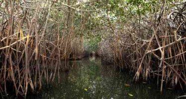 Investigan alta capacidad para capturar carbono de manglares en Baja California
