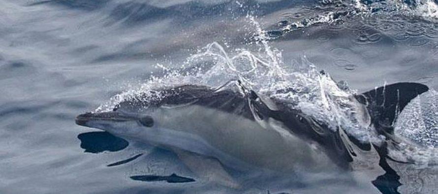 Las hembras de delfín forman «guarderías»