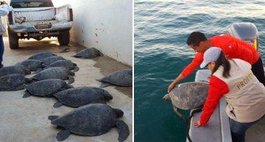 Liberan 10 tortugas negra o caguama (Chelonia agassizii) y detienen a traficante en Baja California