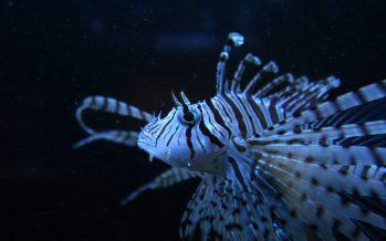 Monitorean poblaciones de pez león (Pterois volitans) en aguas mexicanas, una especie exótica que se convirtió en un grave problema ambiental