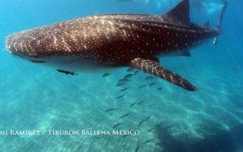 Observación y nado de tiburón ballena (Rhincodon typus) es objeto de vigilancia en La Paz, BCS