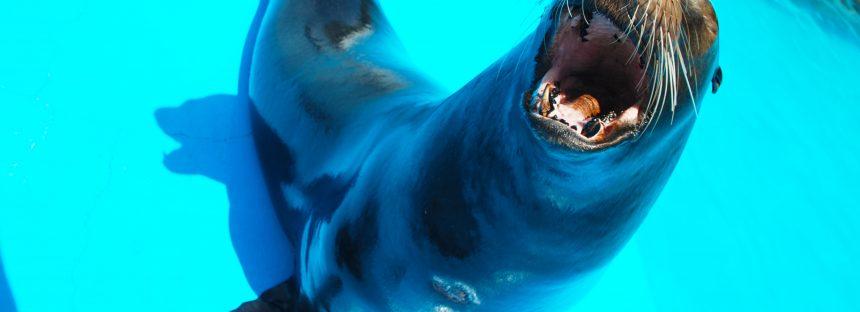 """Por problemas de salud, """"jubilan"""" dos lobos marinos del Zoológico de Morelia"""